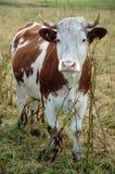 Zoete koe royalty-vrije stock afbeelding