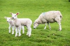 Zoete lammeren die op het groene mooie Schotse gebied blijven stilstaan Stock Foto's