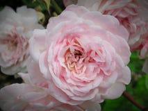 Zoete Lichtrose Rose Flowers stock afbeeldingen