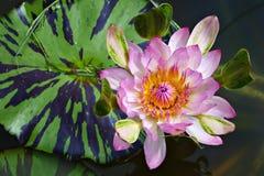 Zoete lotusbloem Royalty-vrije Stock Fotografie