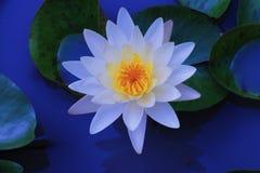 Zoete lotusbloembloesem Stock Foto