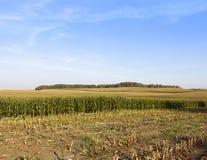 Zoete maïs royalty-vrije stock afbeeldingen