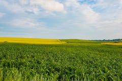 Zoete maïsgebied in platteland, mooi landschap Het concept van de oogst De herfst verlaat grens met diverse groenten op witte ach royalty-vrije stock fotografie