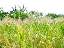 Zoete ma?s, ondernemingen die inkomen, met inbegrip van Aziatische landbouwers produceren royalty-vrije stock foto's