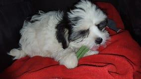 zoete meisje van puppy het Maltese shitzuhi Stock Fotografie