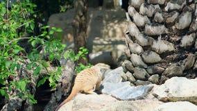 Zoete mongoes Het concept dieren in de dierentuin stock videobeelden