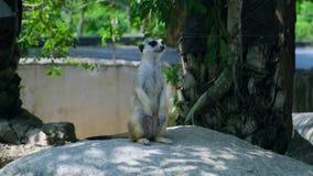 Zoete mongoes Het concept dieren in de dierentuin stock footage