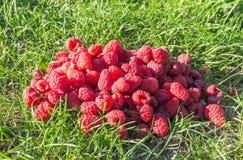 Zoete oogstframbozen Stock Foto's