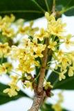 Zoete osmanthusbloemen Stock Foto