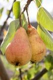 Zoete peer op een boom Stock Afbeeldingen