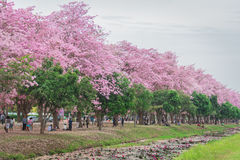 Zoete roze bloembloesem in lentetijd Royalty-vrije Stock Foto's