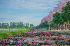 Zoete roze bloembloesem in lentetijd Royalty-vrije Stock Afbeelding