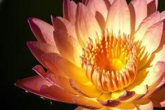 Zoete roze lotusbloem Stock Afbeelding