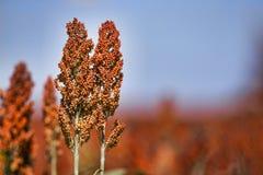 Zoete Sorghumsteel en zaden - horizontale biofuel en voedsel - Stock Fotografie
