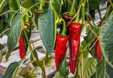 Zoete Spaanse pepers die in een Nederlands groen huis van het sluiten groeien Stock Afbeeldingen
