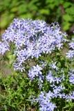 Zoete van de de floxflox van William divaricata L blossoming stock foto