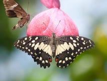Zoete vlinder Royalty-vrije Stock Foto's