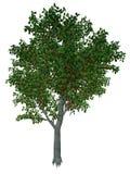 Zoete of wilde 3D kersenboom - geef terug Royalty-vrije Stock Afbeelding