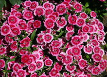 Zoete William (Dianthus barbat Royalty-vrije Stock Afbeelding