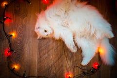 Zoete witte kat Stock Afbeelding