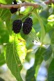 Zoete Zwarte Moerbeiboom Stock Foto