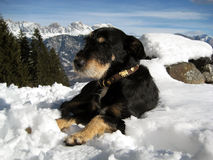 Zoete Zwitserse hond die in sneeuw omhoog in de bergen leggen Stock Foto