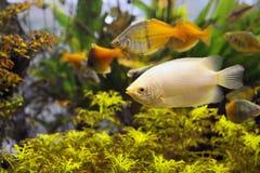 Zoetwater Aquarium Stock Afbeelding