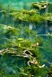 Zoetwater Aquatische Onkruid en Algen stock fotografie
