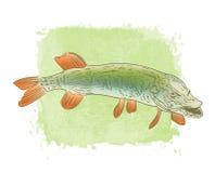 Zoetwater de kleurentekening van snoekenvissen Stock Afbeeldingen
