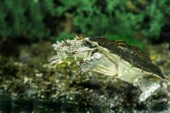 Zoetwater exotische schildpadden Matamata royalty-vrije stock afbeeldingen