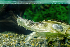Zoetwater exotische schildpadden Matamata stock foto's