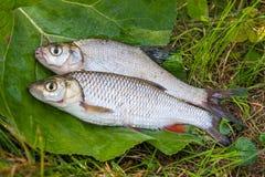 Zoetwater gemeenschappelijke brasem en Europese kopvoornvissen op natuurlijke backgr stock afbeelding