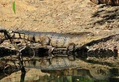 Zoetwater of johnstons krokodil, kakadu, Australië stock afbeeldingen