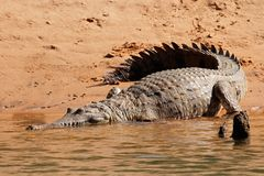 Zoetwater krokodil royalty-vrije stock afbeeldingen