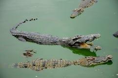 Zoetwater krokodil. royalty-vrije stock foto