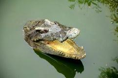 Zoetwater krokodil. royalty-vrije stock foto's