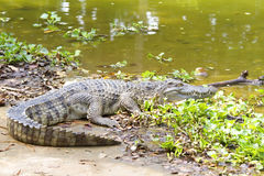 Zoetwater krokodillen stock foto