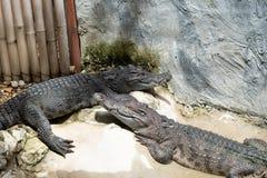 Zoetwater krokodillen in Thailand stock afbeelding