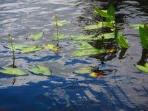 Zoetwater optredende sagittariaspecies van de aquatische installatiespijlpunt stock foto