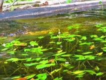 Zoetwater optredende sagittariaspecies van de aquatische installatiespijlpunt stock foto's
