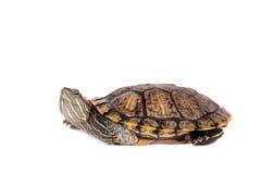 Zoetwater rood-eared schildpad op wit stock afbeeldingen