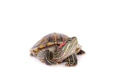 Zoetwater rood-eared schildpad op wit Stock Fotografie