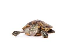 Zoetwater rood-eared schildpad op wit Stock Foto