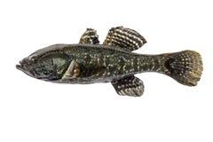 Zoetwater roofzuchtige glenii van vissen rotan, geïsoleerde Perccottus, Amur-Dwarsbalk, zijaanzicht Stock Foto
