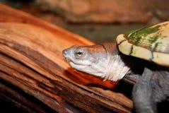 Zoetwater schildpad stock afbeeldingen