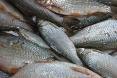 Zoetwater vissen Stock Fotografie