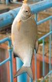 Zoetwater vissen (bjorkna Blicca) royalty-vrije stock fotografie