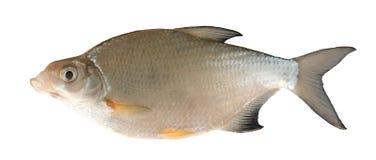 Zoetwater vissen (bjorkna Blicca) stock foto's