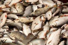 Zoetwater vissen die in de visserij van vijver worden gevangen stock fotografie