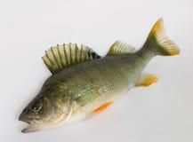 Zoetwater vissen (fluviatillis Perca) royalty-vrije stock afbeeldingen